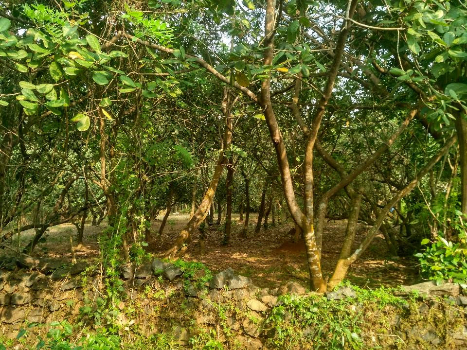 Thane (Cashew Plantation)